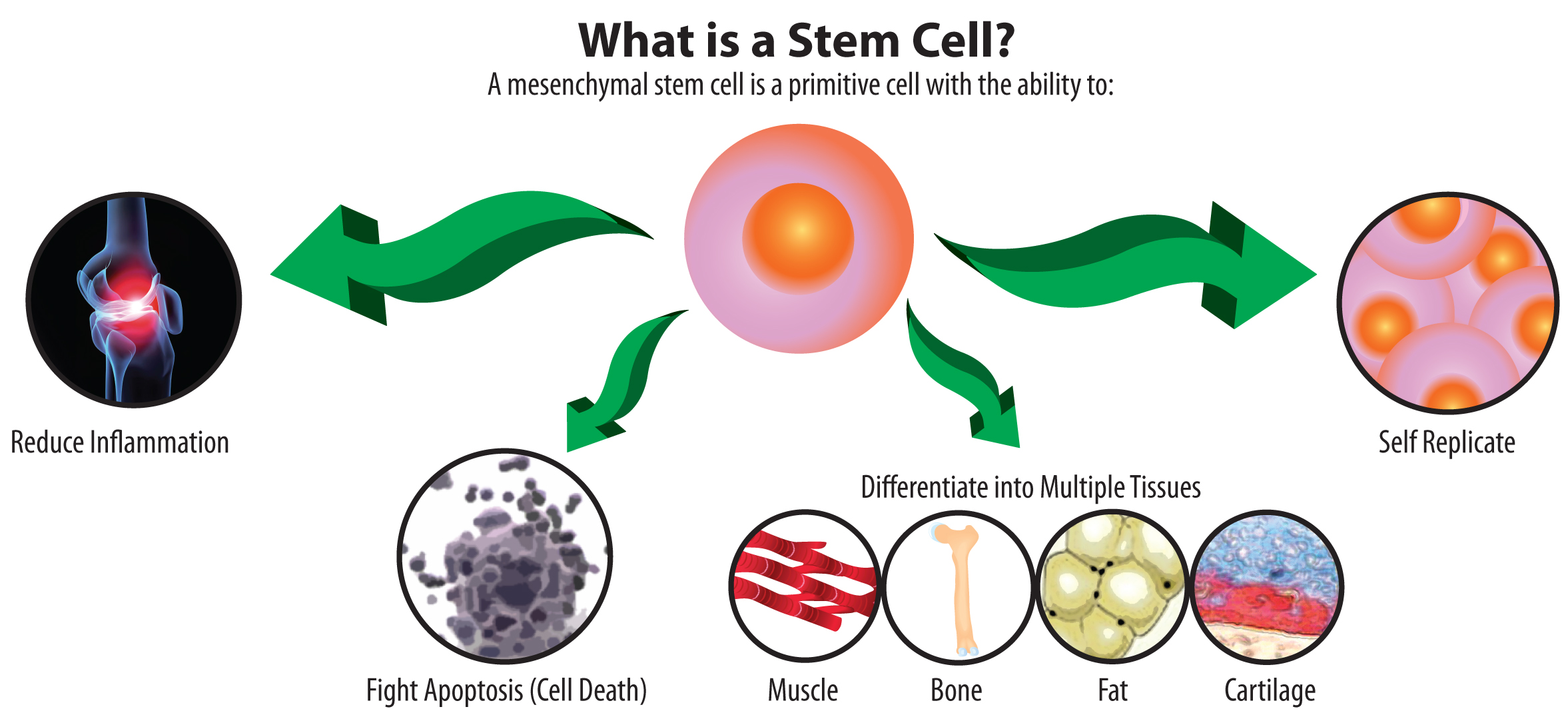 what is a stem cell illustration